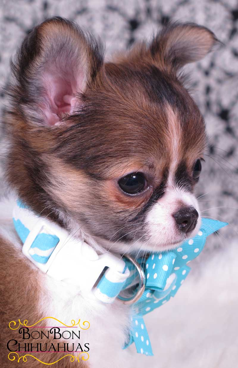 Long Haired Chihuahua Haircuts | Dog Breeds Picture