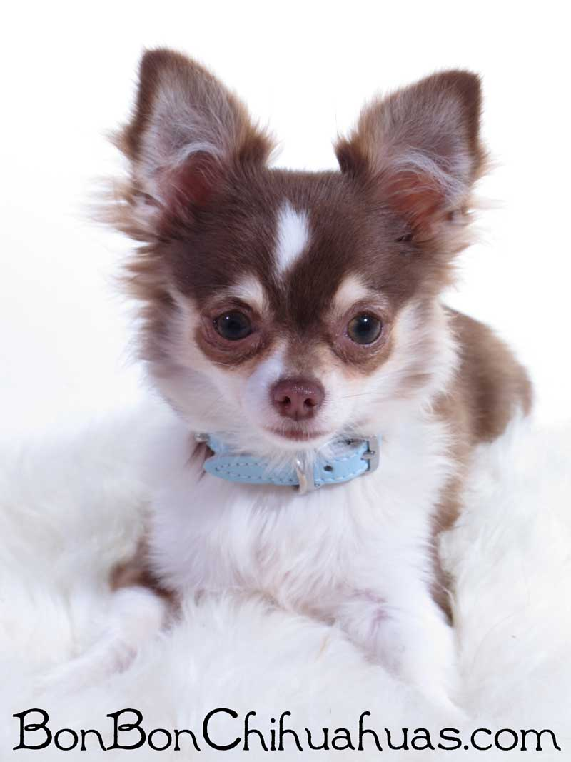 Purchase Long Coat Chihuahua Puppies For Sale Up To 68 Off