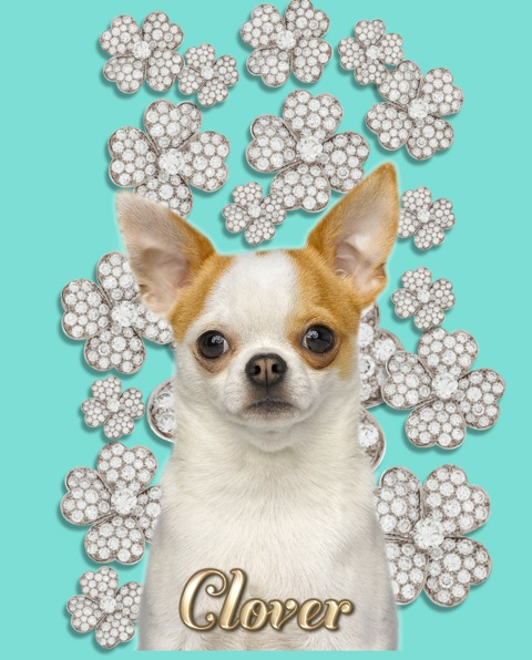 Famous Chihuahua Clover